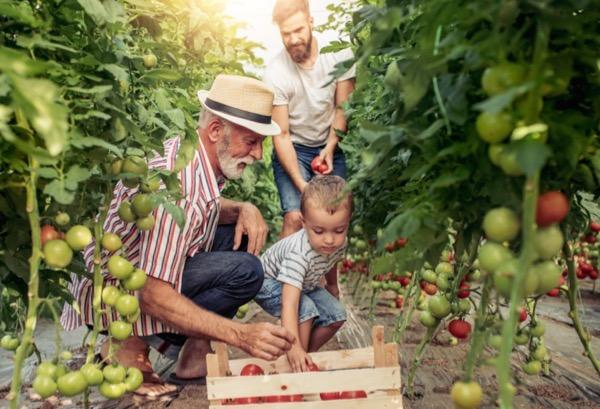 tomato farm family